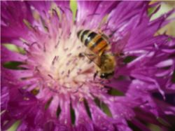 Biene_beim_Besuch_der_Kornradenblte