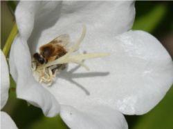 Biene_beim_Besuch_der_weien_Glockenblume
